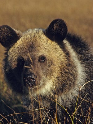 """Adult grizzly bear with the distinctively """"dished"""" face and round ears."""