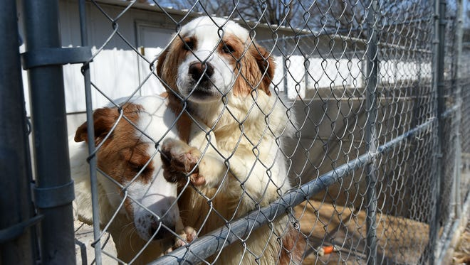 Dogs at Perry's Orphans Sanctuary hang out in kennels on Tuesday. About 60 rescued animals remain at the shelter.
