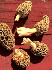 Morels are a foraging delicacy.