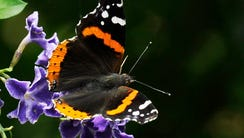 A ed admiral butterfly feeds on a duranta flower Sunday,