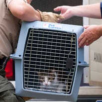 Cats are removed from a home near Laingsburg on Wednesday.