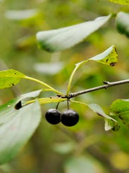 The egg-shaped pointed leaves of a buckthorn shrub