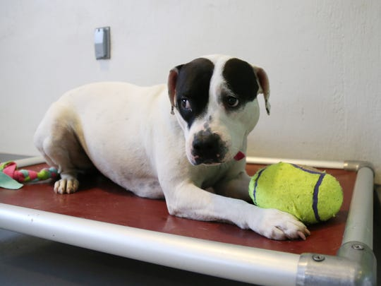 Dumpling a 2 year old female dog up for adoption at