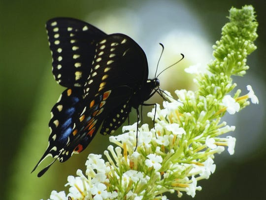 A black swallowtail butterfly alights on a butterfly