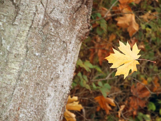 636454090148499708-Standalone-Fall-Leaves-02.JPG