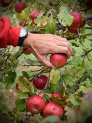 Todd Beumer picks ripe apples Wednesday, Sept. 7, at