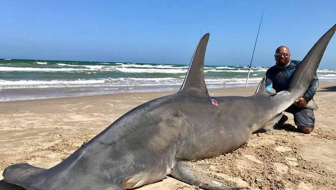 Greg Stunz, at the Harte Research Institute, estimates this 14-foot shark weighed about 918 pounds.