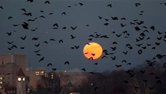 Crows fly through the late-evening sky as they head to roosting spots on the near-westside of Bloomington, Ind., Nov. 28, 2013. A real estate management company in Bloomington is leading the effort to find a way to rid the downtown area of nuisance crows and the accompanying droppings problem.