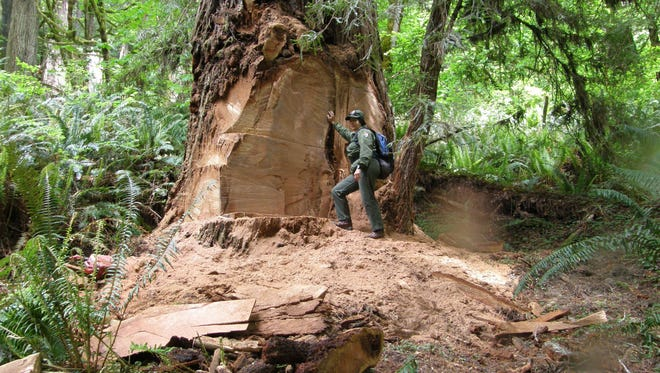 A 2013 photo provided by the National Park Service shows wildlife biologist Terry Hines standing next to a massive scar on an old growth redwood tree in the Redwood National and State Parks near Klamath, Calif., where poachers have cut off a burl to sell for decorative wood.