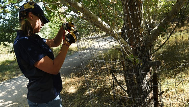Nevada Dept. of Wildlife educator Tricia Dutcher puts up protective fencing around trees at the Oxbow Nature Study Area in Reno on Sept. 2, 2015.  NDOW is putting up the fences to protect the trees from area beavers.