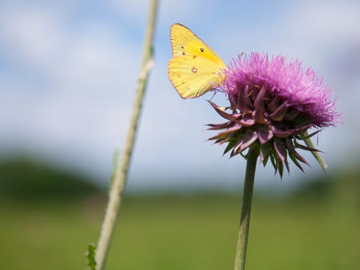 A Clouded Sulphur butterfly lands on a flowering thistle.  June 21, 2014