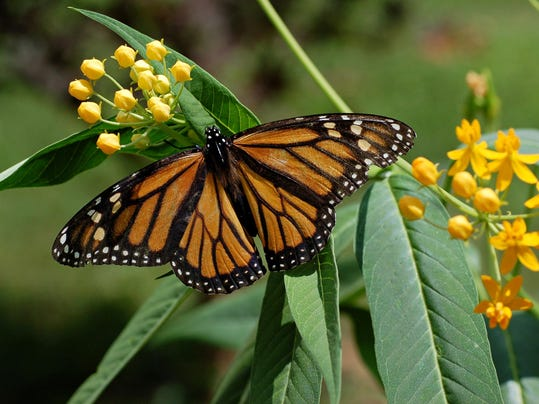 NNO 1 Milkweed and Monarch Butterfly