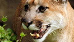 Oregon officials still unsure if cougar killed is the one that killed hiker