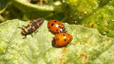 Adult and larvae lady bird beetles feasting on aphids.