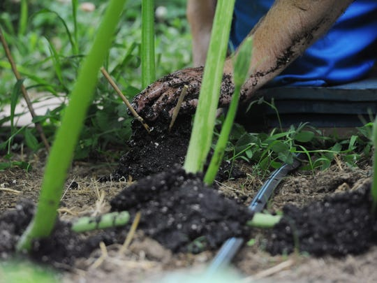 Rusty Ortman buries the new roots on his pumpkin vines June 22 at the Ortman Family Greenhouse. Ortman uses a mixture of potting soil, worm castings and beneficial fungus to bury the new root growth.