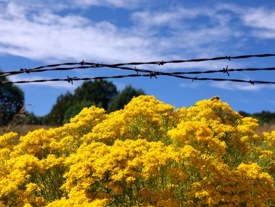 turpentine-plant-and-barbed-wire