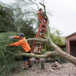 From hurricanes to monsoons, why don't palm trees blow over?