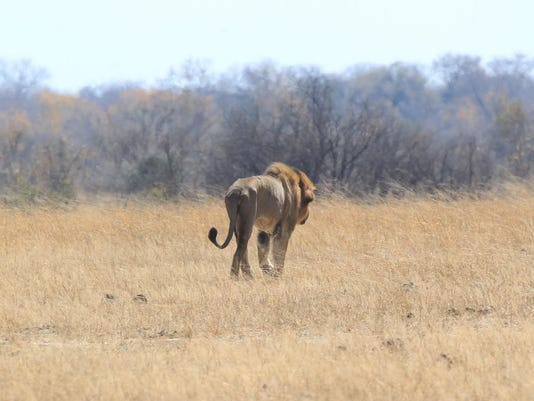 Zimbabwe Lion killed _Atki (1)