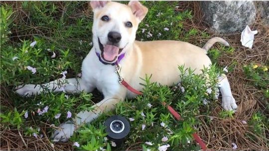 Lana is a 5-month-old puppy who was last seen on May 23 near W. Jefferson Street.