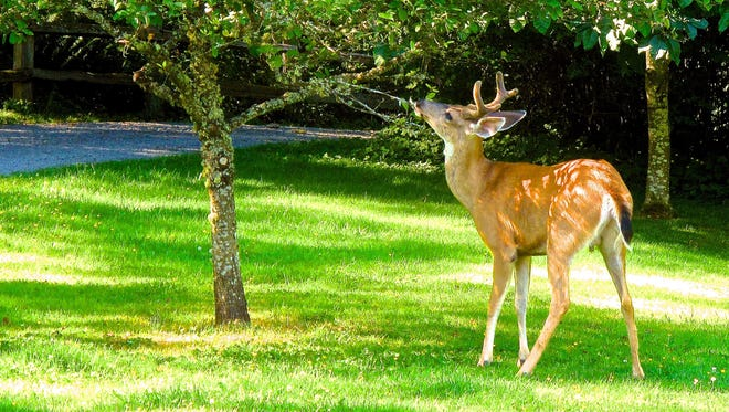 A young Blacktail buck eats leaves from a horse chestnut tree near Langley, Washington on July 9, 2013. Deer are significant garden pests but avoid bulbous flowers like daffodils, snowdrops and snowflakes because of their bitter and toxic taste.