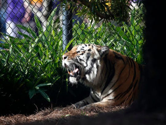 FILE - In this Oct. 17, 2015, file photo, Mike VI, LSU's tiger mascot, rests in his habitat before an NCAA college football game Between LSU and Florida in Baton Rouge, La. The university said in a statement Monday, May 23, 2016, that Mike VI has a tumor in its face near its nose. (AP Photo/Gerald Herbert, File)