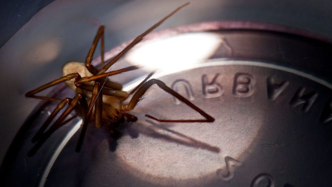 Nine times out of 10, a person bitten by a brown recluse will react as they do to any spider, bug or mosquito bite, experts say. This is one of three brown recluse spiders found in a Flint home in 2011.