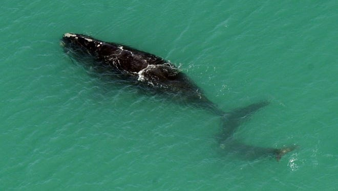 A right whale seen off the coast of Brevard.