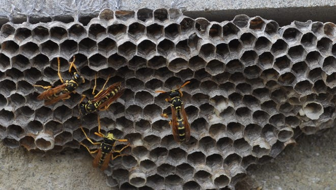 Paper wasps can be a nuisance.