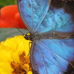 The Blue Morpho will be one of the featured butterflies at this year's show.