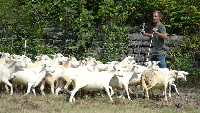 Zach Richardson, owner Nashville Chew Crew, leads his 20 sheep for target gazing at Fort Negley on Wednesday, August 24, 2016.  Metro Parks is utilizing the Nashville Chew Crew to clear designated areas of unwanted vegetation at Fort Negley. Utilizing sheep will provide better views and access around the stoneworks of the Fort and and minimize the damage to the facility's Civil War archaeological structures. Clearing should take a week.