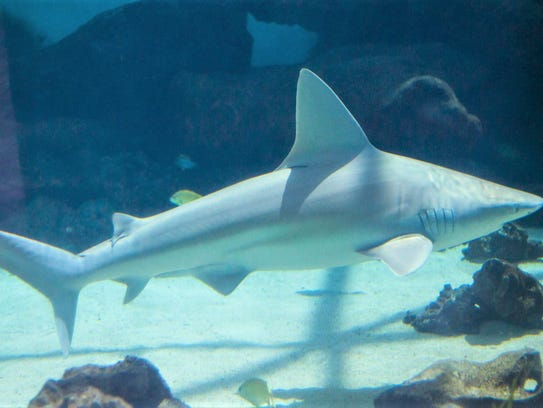 Mote's aquarium biologists feed the sharks during a
