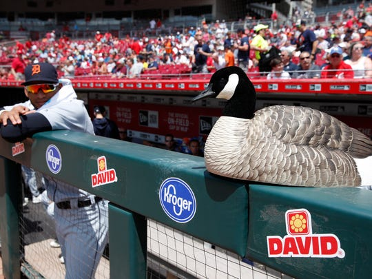 The Detroit Tigers rally goose sits atop the dugout
