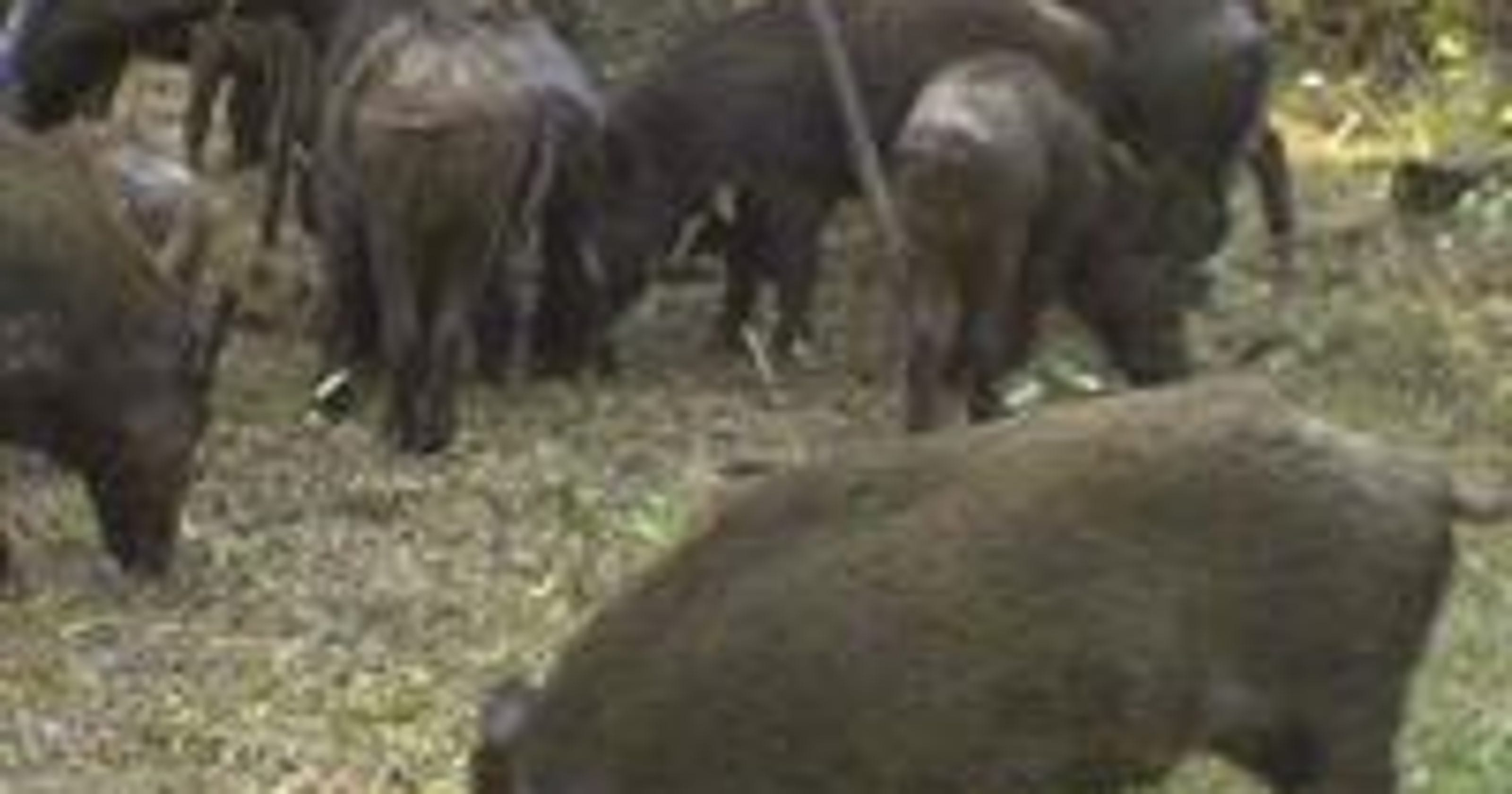 Hogs wild: Feral pigs pose problems for La  farmers