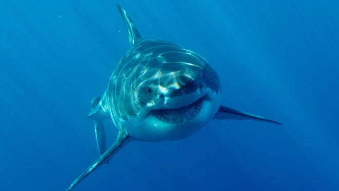 A massive female Great White Shark gets ready for Discovery's Shark Week.