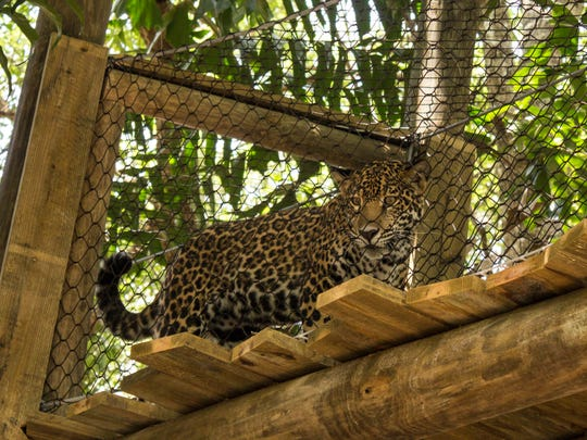 A new expansion for the Brevard Zoo's jaguar exhibit