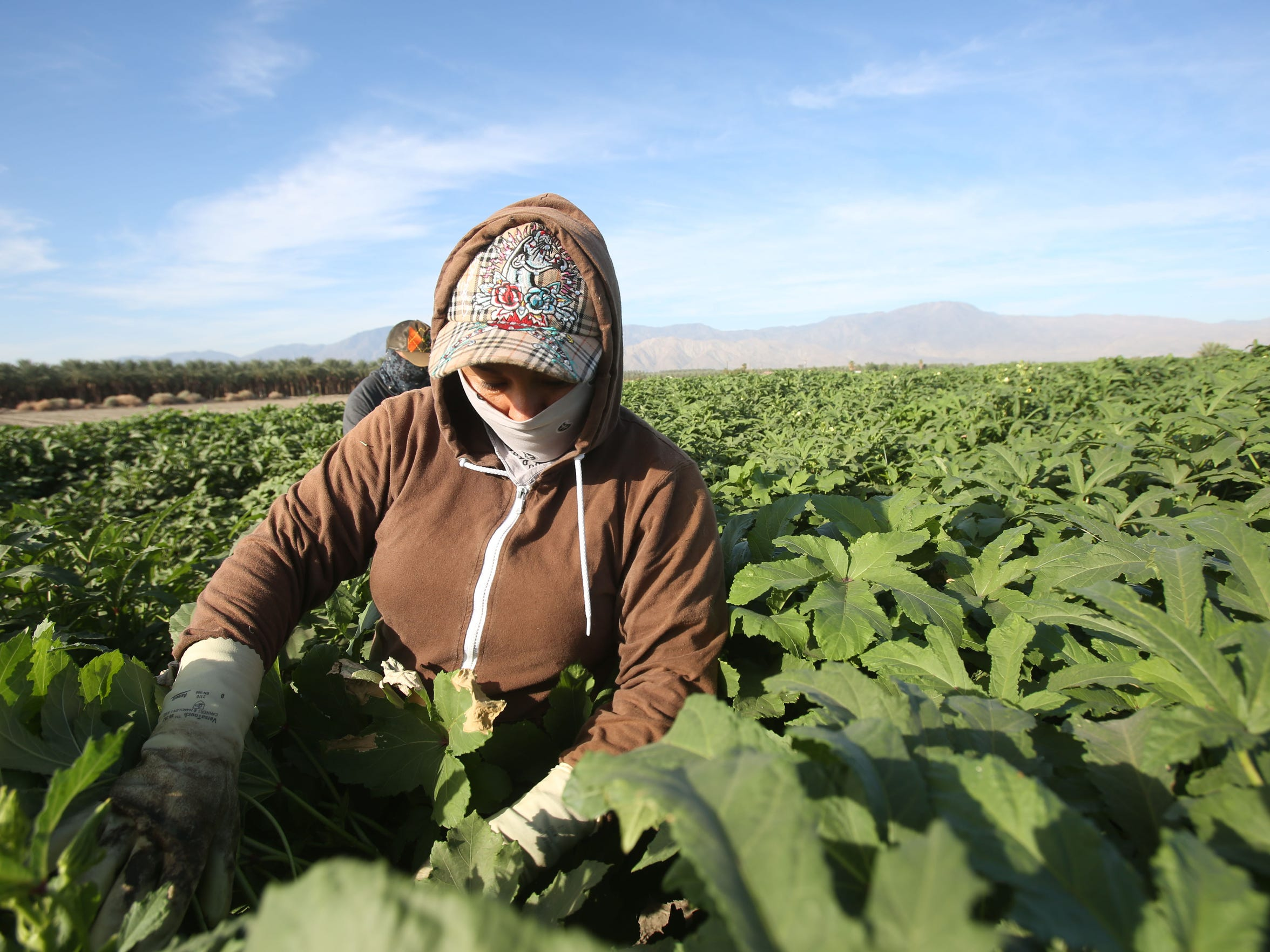 Farmers pick okra in temperatures reaching in the high 90s near Mecca, California, in early September.