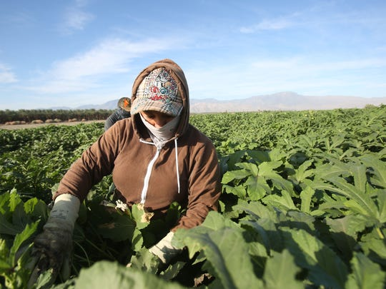 Farmers pick okra in temperatures reaching the high 90s near Mecca, California.