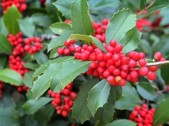 Jan Setzler is enjoying the season color of the large holly tree outside her home at Waverly Place.