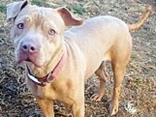 Ruru is an adult, spayed, female pit bull terrier.
