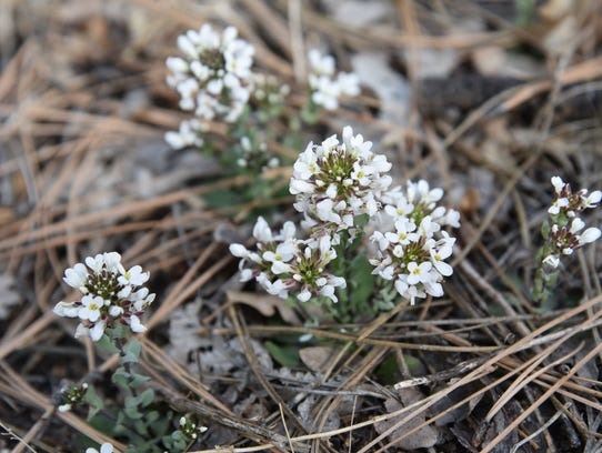 Wild candytuft blooms February through August along