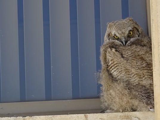 Owls Reno