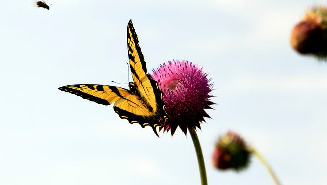 A monarch butterfly lands on a flower along the banks of the Mill Creek in Cincinnati