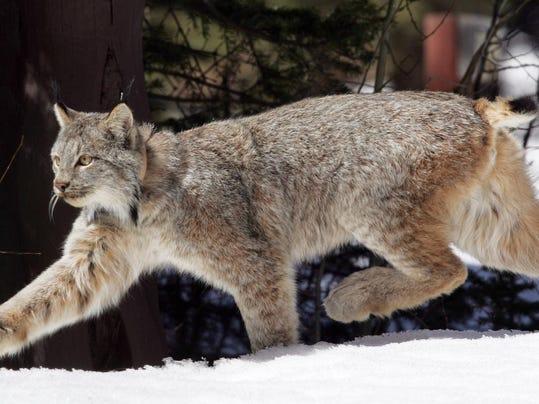 -Lynx.JPEG_20110117.jpg