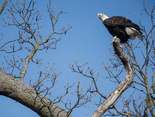A bald eagle that was rehabilitated at the Dickerson