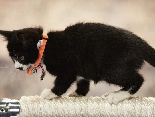 Shelter kittens take on gymnastics, track and field