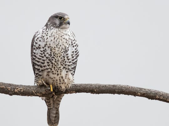 "A rare visit by a Gyrfalcon to Bergen County 13 months ago was my most popular column ever, according to the number of Facebook ""likes."" A gyrfalcon has been seen for a few weeks recently at the Merrill Creek Reservoir in Warren County."