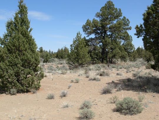 An example of juniper trees.