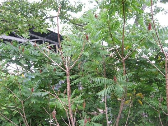 African sumac is a popular Southwestern tree that can be controlled by pulling or trimming its sprouts.