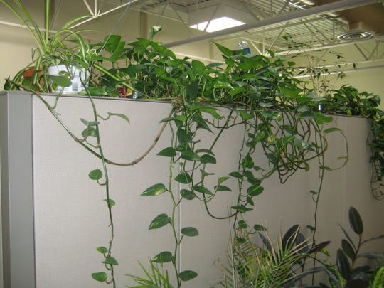 Some indoor plants need root pruning to grow better,