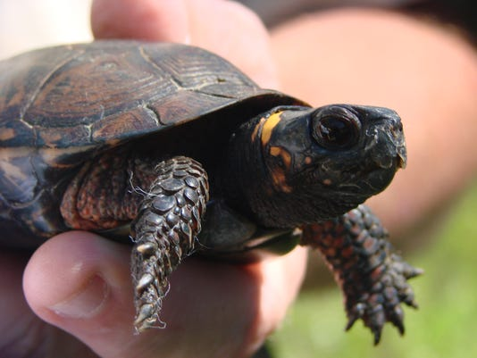 635932967045768673-Bluff-Preserve-bog-turtle-mike-horak.jpg
